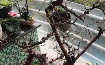 福建茶盆景 去年12月落叶 不长新叶