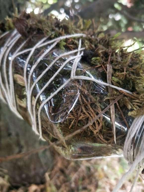 福建茶下山桩怎么高压造型的方法