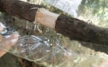 福建茶下山桩怎么高压造型的方法 图片