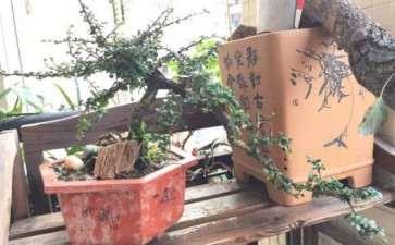 80元买个小叶福建茶下山桩 刚上盆 图片