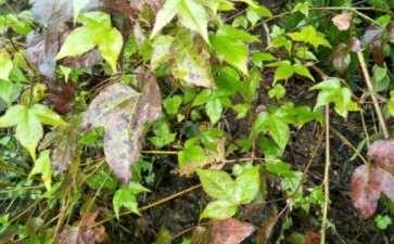 这个是三角枫下山桩吗 冬天为什么不落叶