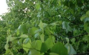 三角枫下山桩开花了 图片