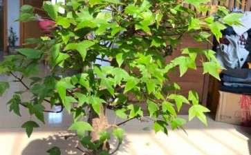 为什么三角枫下山桩叶子边缘干枯 图片