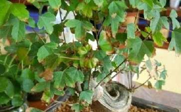 三角枫下山桩叶子怎么老是干枯 图片
