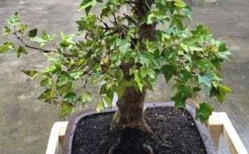 三角枫下山桩叶子发黄变枯是怎么回事