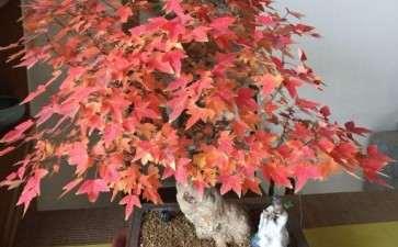 为什么三角枫下山桩入秋变红 图片