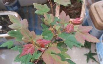 为什么可以让三角枫下山桩的叶子变红