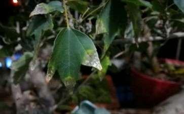 三角枫下山桩叶子出了什么问题 图片