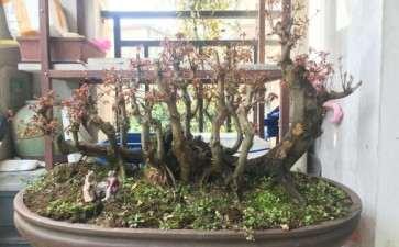 丛林式三角枫盆景 求老师点评 图片