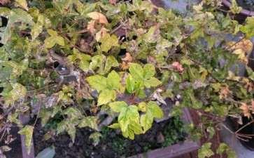 三角枫下山桩叶子背面这是什么虫子