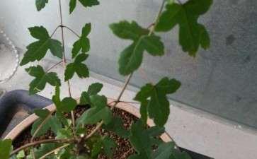 为什么三角枫下山桩新叶子发黑 怎么办