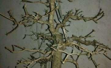 三角枫下山桩把叶子全剪掉了 怎么办