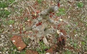 真正的小叶红芽三角枫下山桩 图片