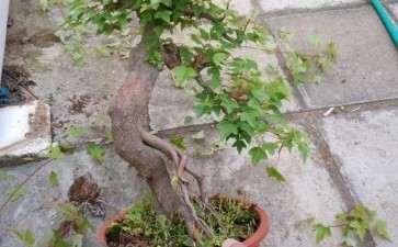 刚修剪的小叶红芽三角枫下山桩 图片