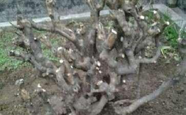 野生三角枫下山桩怎么整成盆景 图片