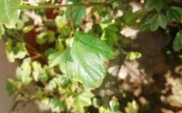 三角枫下山桩移盆 叶子就枯萎发黑 图片