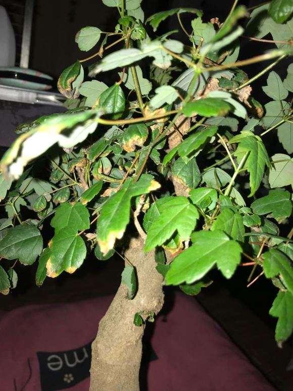 三角枫下山桩叶子为何总是焦边卷曲