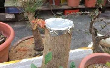 一般三角枫下山桩栽后多少天出芽