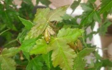 三角枫下山桩叶子怎么了 发黑 图片