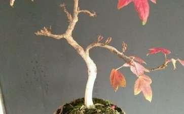 扦插的小三角枫下山桩 叶子全红了