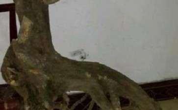 刚挖的龟甲冬青下山桩 怎么样 图片