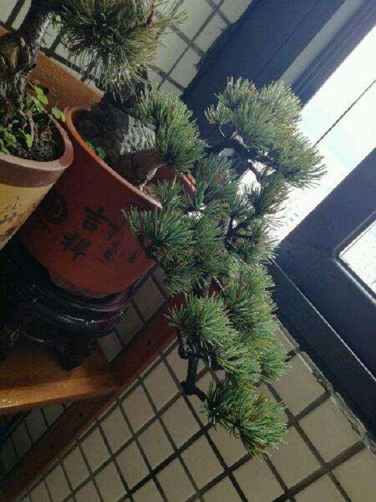为什么我们的大阪松盆景 还没有抽芽