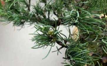 大阪松盆景冒出来的是芽 还是开花 图片