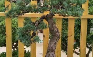 大阪松盆景修剪下的枝条能扦插吗
