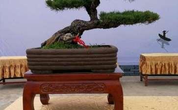 大阪松盆景怎么换盆的方法 图片