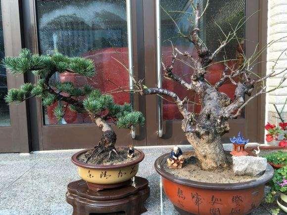 大阪松盆景可以喷石硫合剂吗