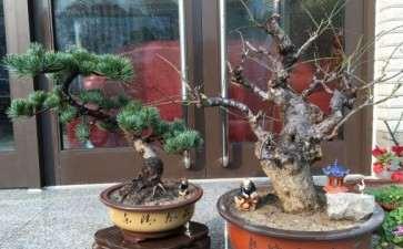大阪松盆景可以喷石硫合剂吗 可以吗