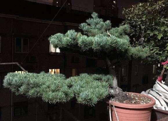这盆景是五针松 还是大阪松