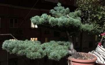 这盆景是五针松 还是大阪松 图片