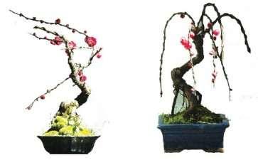 梅花小品盆景怎么造型的3个方法