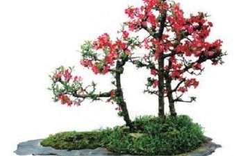 盆景春季怎么管理的5个方法