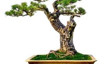 松树盆景造型的重点和难点在哪里