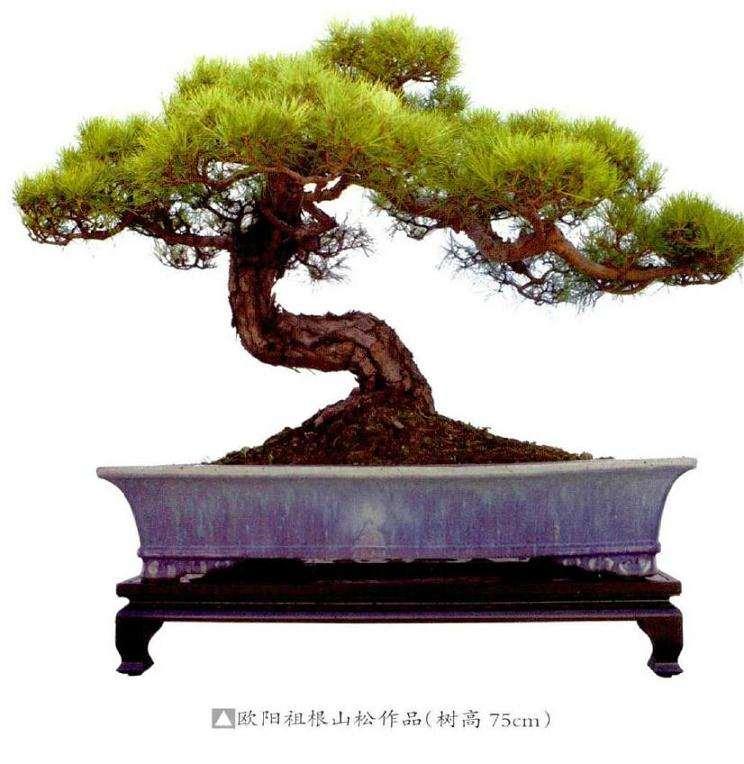 怎样才能让松树盆景的最佳状态参展
