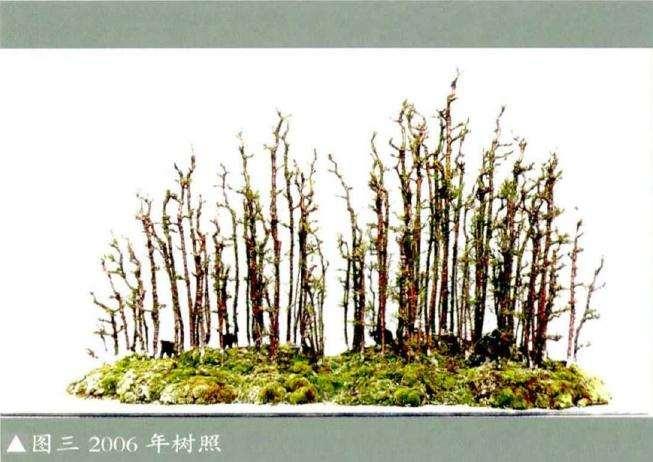 麻黄小苗可否利用做个丛林盆景