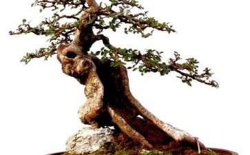 榆树盆景怎么上盆造型的3个方法