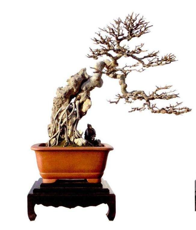 榆树盆景怎么养护管理的3个方法