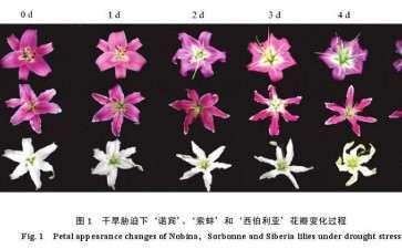干旱胁迫对3种百合花开放外观和花瓣含水量的影响
