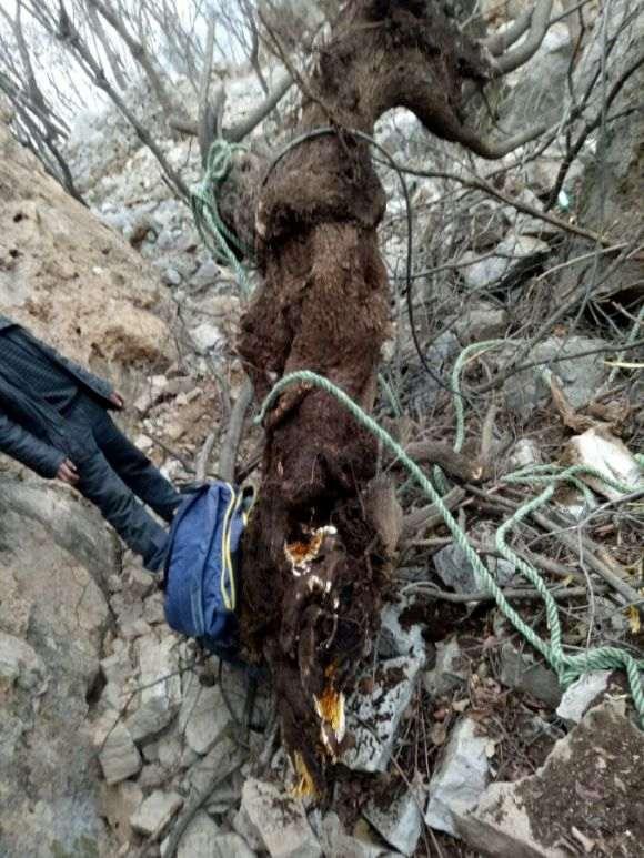 悬崖黄栌下山桩 300斤
