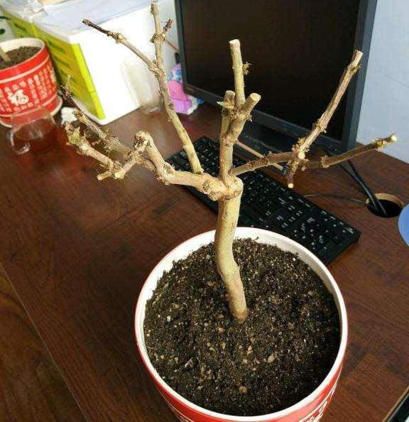 金银花室内下山桩小盆栽