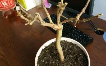 金银花室内下山桩小盆栽 可以吗 图片