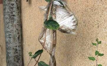 金银花下山桩栽下几天了 迟迟不发芽 图片