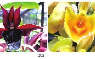 瓢唇兰属植物怎么繁殖与栽培