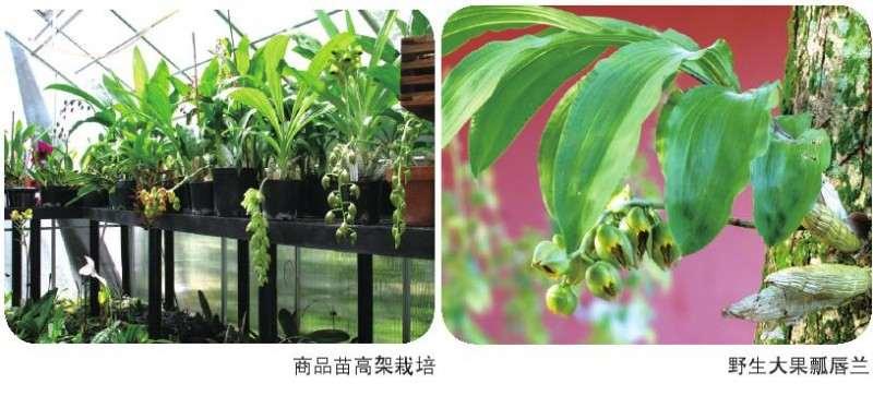 瓢唇兰属植物怎么分株繁殖的3个方法