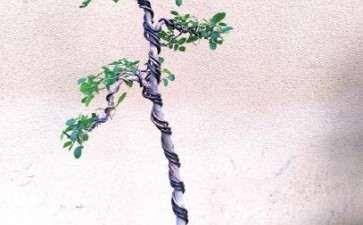 朴树盆景病虫害怎么防治的2个方法