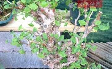 夏季银杏盆景怎么摘叶的方法 图解