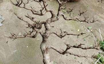 图解 榔榆下山桩四年怎么制作成盆景